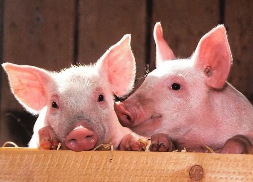 台灣種豬基因體定序奇緣 基因定序先鋒 + AI 助攻為精準農業開道